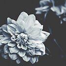 Deep Blue Dahlia by Ingrid Beddoes