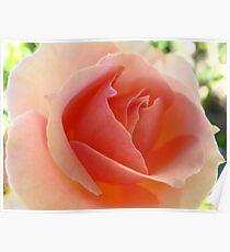 Tropical Reserve Prive Rose Poster