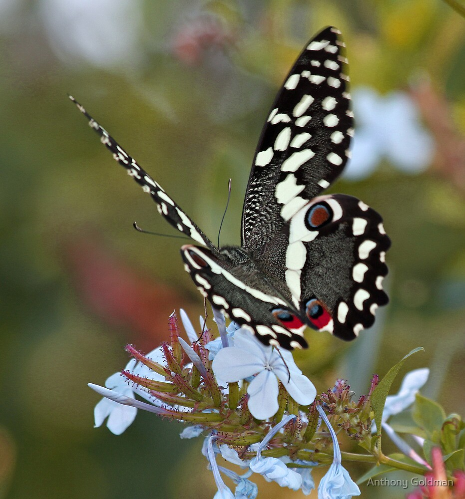 Citrus Swallowtail butterfly at Timbivati game reserve by Anthony Goldman