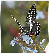 Citrus Swallowtail butterfly at Timbivati game reserve Poster