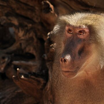 Female Baboon by whiterussian
