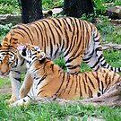 Tiger Love by Linda Long
