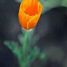 orange poppy by xaiya