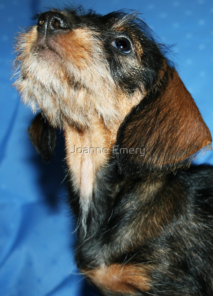 Miniature Wire Haired Dachshund Puppy  by Joanne Emery