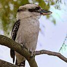 Kookaburra in Jacaranda Tree by Sandra Chung