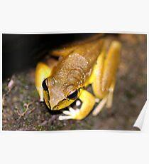 Lesueur's Tree Frog Poster