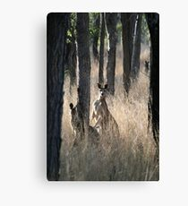 Kangaroos on Alert in the Bush Canvas Print