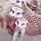 soulful meerkats by lensbaby