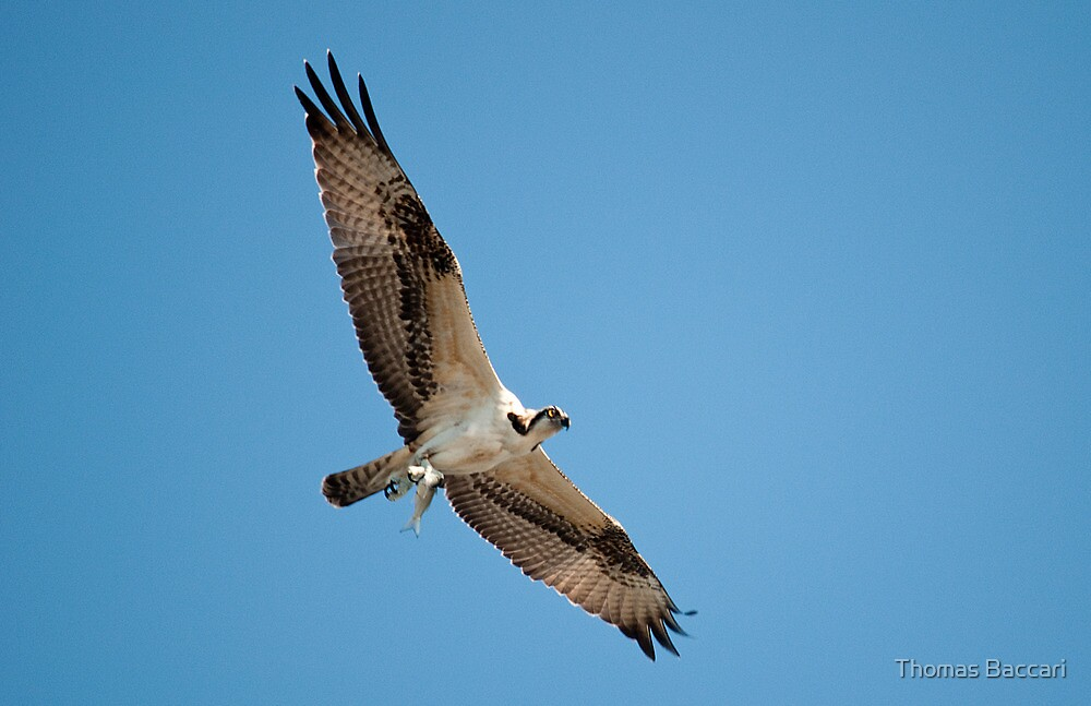 Osprey Catches Fish by TJ Baccari Photography
