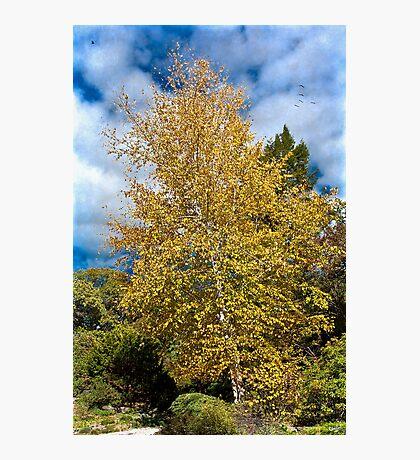 October Birch Tree Photographic Print