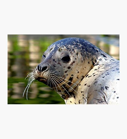 Young Harbor Seal Photographic Print