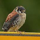 Common Kestrel - I (Falco tinnunculus) by Peter Wiggerman