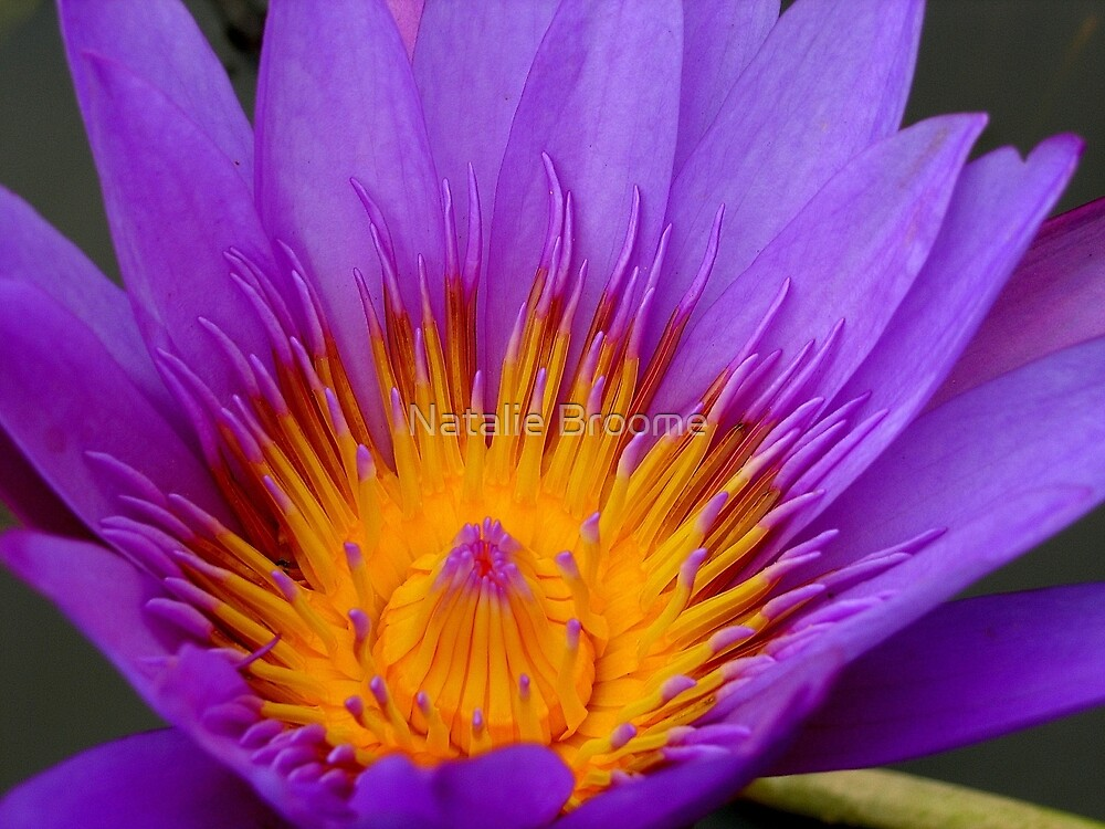 Cambodian Flower by Natalie Broome
