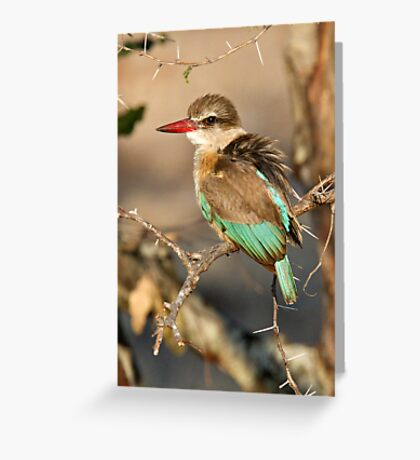Brown Hooded Kingfisher Greeting Card
