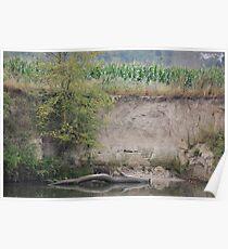 Cornstalks Growing Along the Seine River Poster