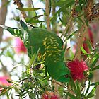 Scaly-breasted Lorikeet by triciaoshea