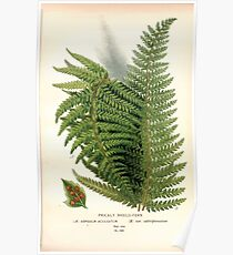 Favourite flowers of garden and greenhouse Edward Step 1896 1897 Volume 4 0293 Prickley Shield Fern Poster
