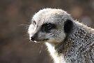 Meerkat 02 by Peter Barrett