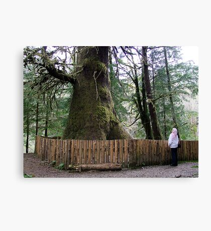 The Biggest Spruce Tree Canvas Print