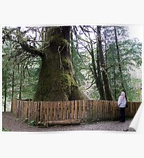The Biggest Spruce Tree Poster