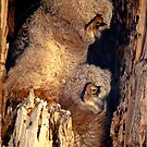 Great Horned Owl Baby Brothers by Gregory J Summers