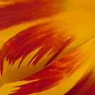 Tulip Caresses by Gregory J Summers