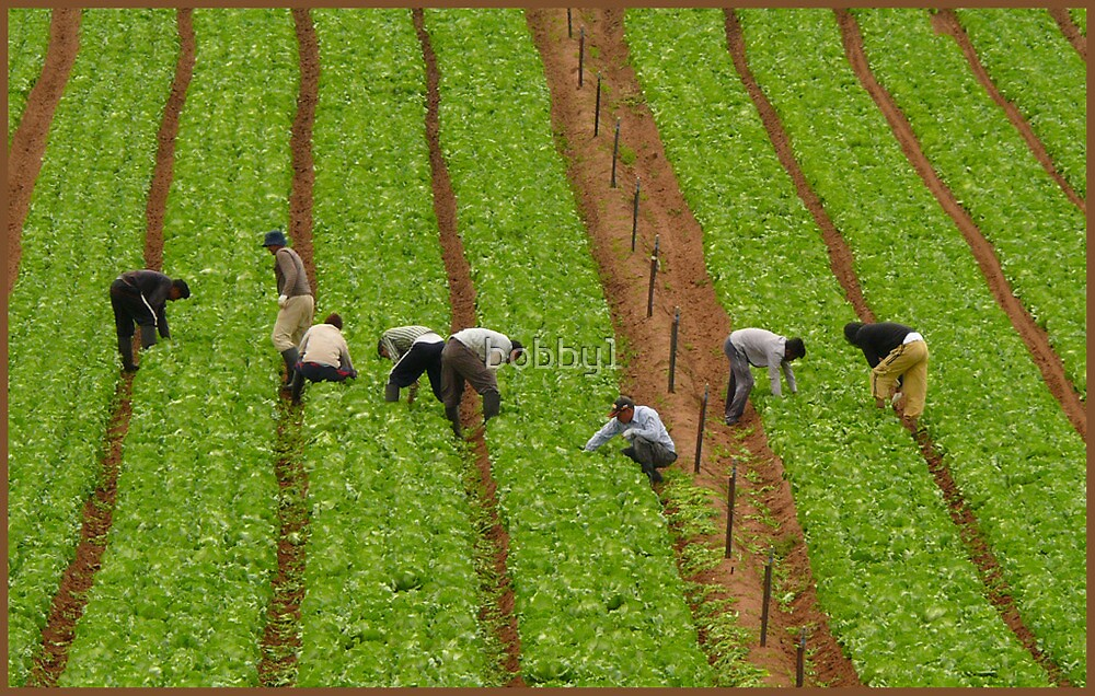 WEEDING THE LETTUCE PATCH by bobby1