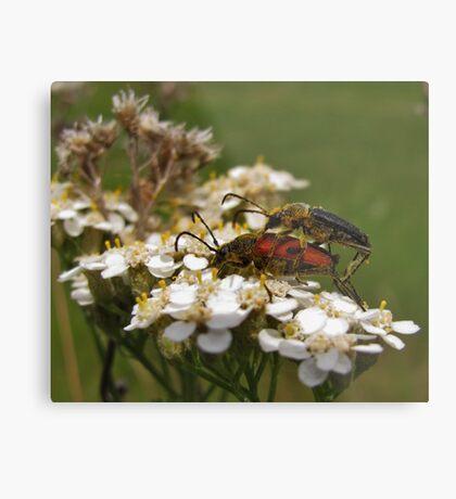 Longhorned beetles mating on Yarrow Metal Print