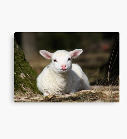 Lamb in Spring Canvas Print