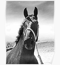 Percheron Posing Poster