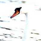 Handsome Swan by skaranec1981