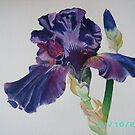 Bearded Iris by dinky