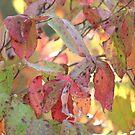 Dogwood in the Fall by DebbieCHayes