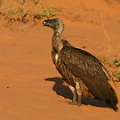 White-backed Vulture by naturalnomad