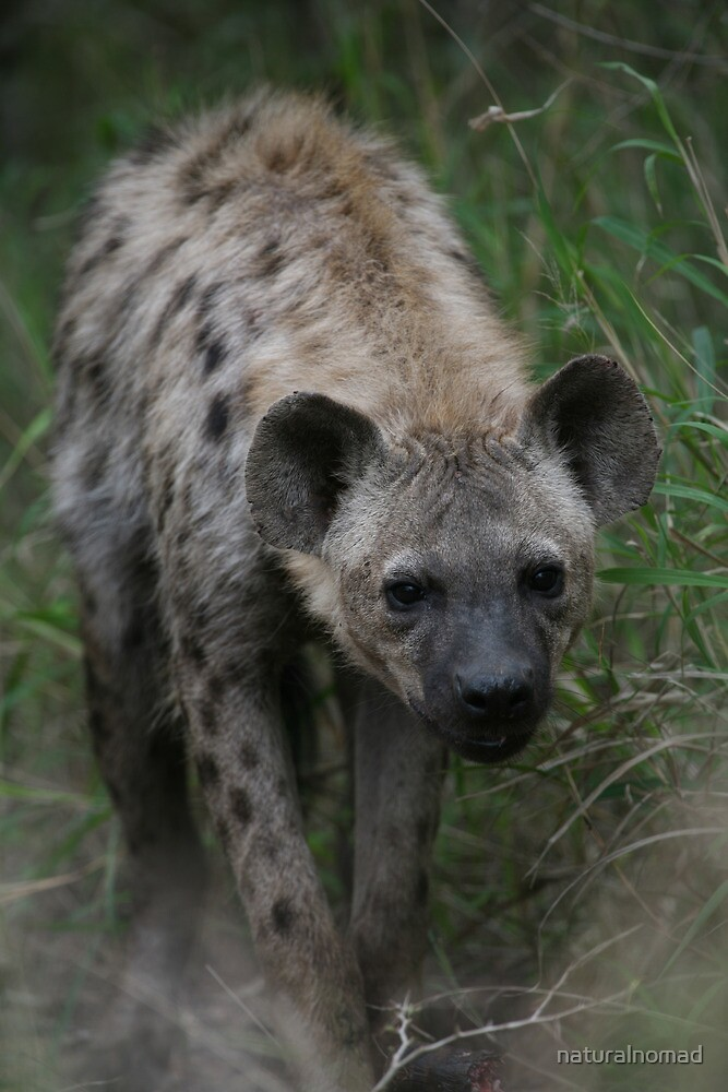 Spotted Hyena by naturalnomad