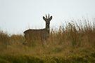 Roe Deer buck on moorland by Andy Beattie