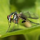 Dolichopodidae, Green Fly by Darren Post