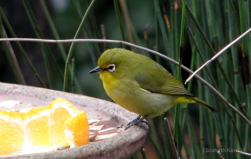 Kaapse Glasogie / Cape White-eye by Elizabeth Kendall