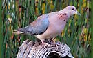 Lagduif / Laughing Dove by Elizabeth Kendall