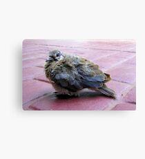 A baby dove Canvas Print