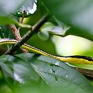 Painted Bronzeback - Dendrelaphis pictus by Normf