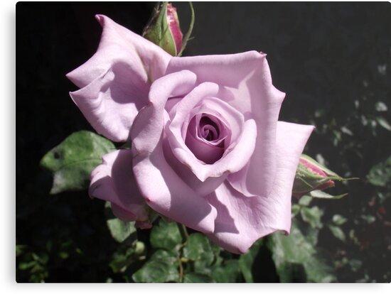 Lady X Lavender Rose Metal Prints By Carol Appelbee Redbubble