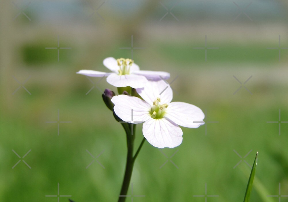 Cuckoo Flowers In The Grass by Barrie Woodward