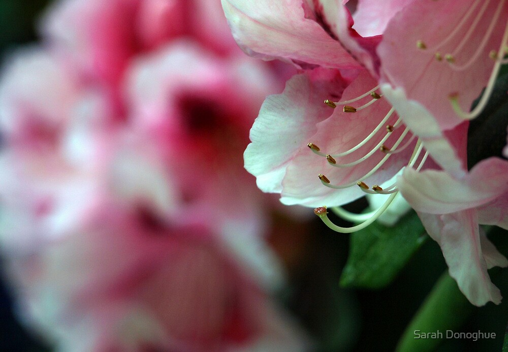 Pink Delight by Sarah Donoghue