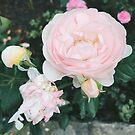 Pastel Pink Garden Rose by AlexandraStr