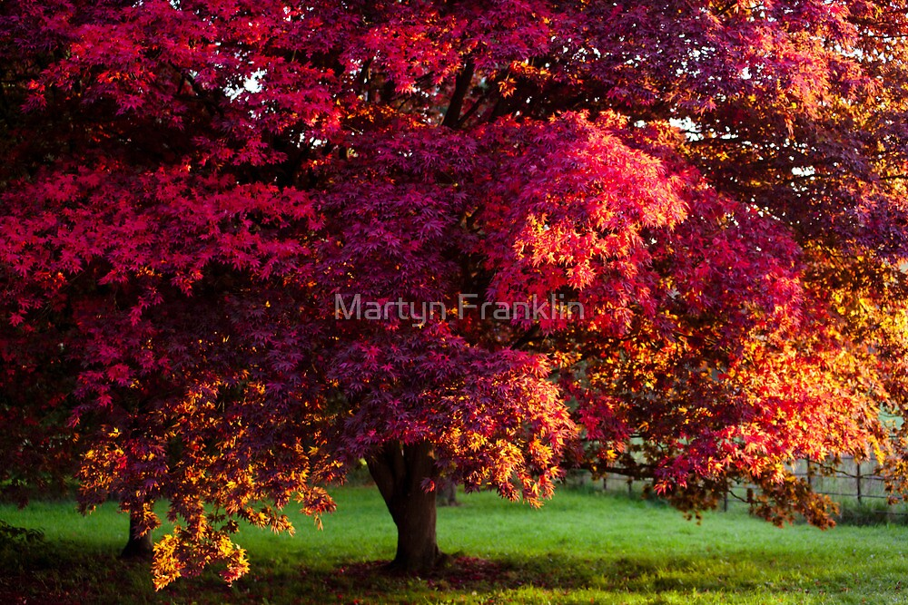 Japanese Maple during autumn by Martyn Franklin