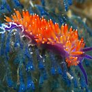 Flabellina nudibranch by Andrew Newton