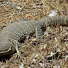 Gould's Monitor by Rick Playle