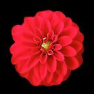 Stunning Red Dahlia On Black by hurmerinta