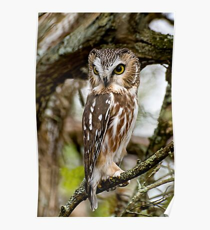 Northern Saw Whet Owl - Amherst  Island, Ontario Poster